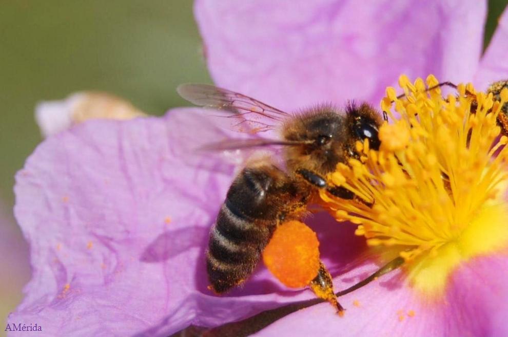 abeja-con-polen